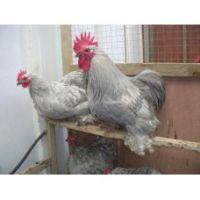 Pot luck bantam hatching eggs